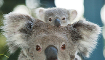 Billabong Koala and Wildlife Park - Accommodation Search