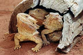 Alice Springs Reptile Centre - Accommodation Search
