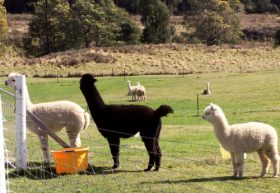 Maydena Country Cabins Accommodation  Alpaca Stud - Accommodation Search