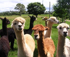 Banyandah Alpacas - Accommodation Search