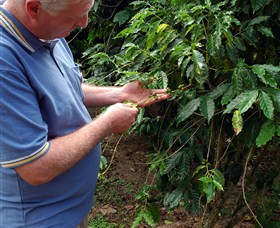 Wombah Coffee Plantation - Accommodation Search