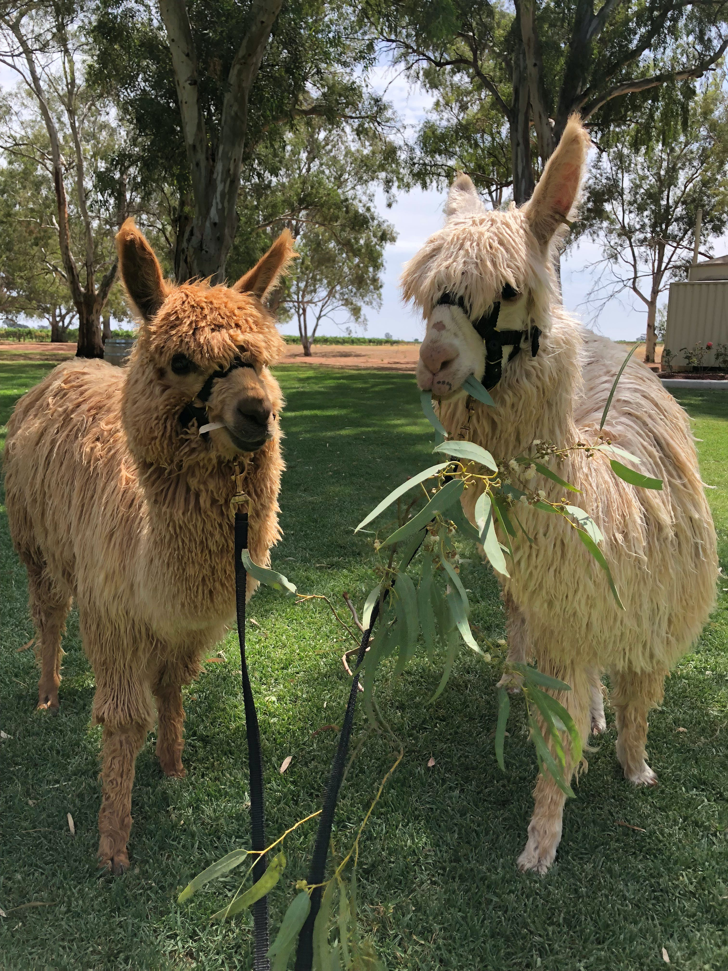 Visit an alpaca farm and get up and personal with these gentle and unique animals - Accommodation Search