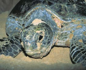 Turtle Nesting Season - Accommodation Search