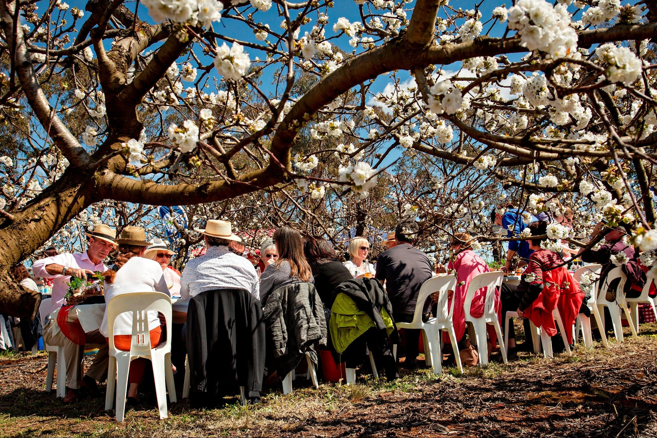 Young Cherry Blossom Long Lazy Lunch - Accommodation Search